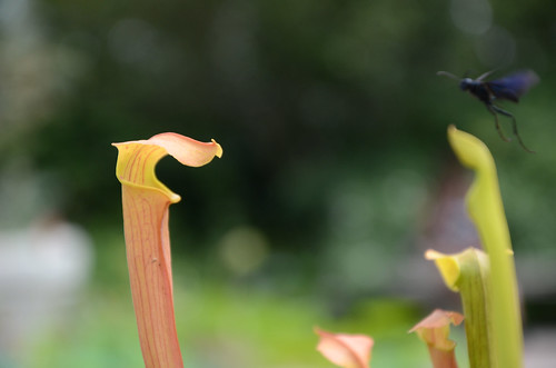 North American Pitcher Plant Hybrid | by Brooklyn Botanic Garden