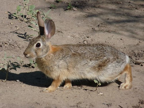 Desert Cottontail | by Diatoms