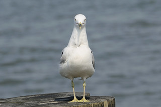 Sea Gull 0974 New York | by Athazen