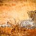 """""""Chui"""" - Samburu Leopard, Kenya Africa"""