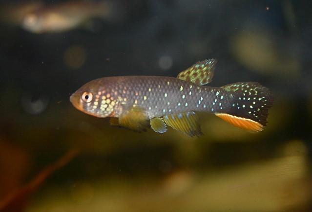 Раховия хаммелинка (Rachovia hummelincki), фото фотография аквариумные рыбки