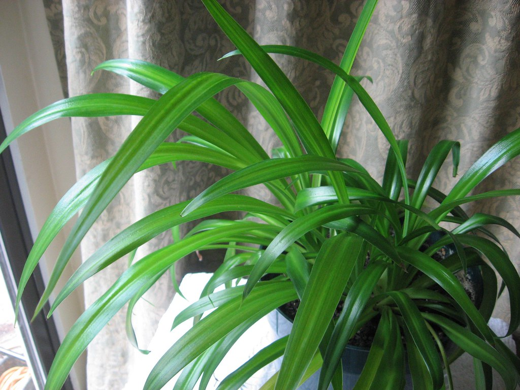 broad leaf spider plant i have had this spider plant for o u2026 flickr