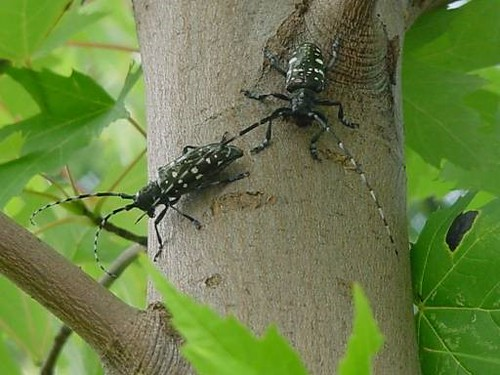 Two adult Asian longhorned beetles on a maple tree