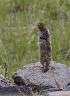 6. Squirrel sits on rock and says 'nah, nah, nah' | by beckstei