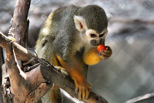 Squirrel monkey. | by Alexandra Rudge. Peace and harmony!!