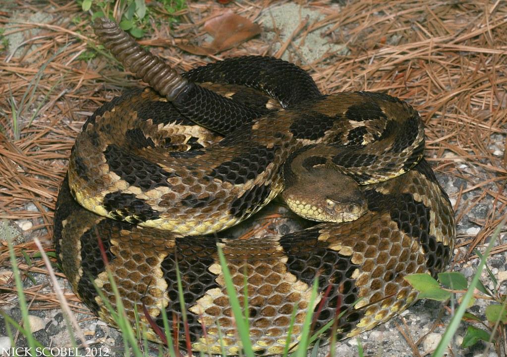 Timber Rattlesnake, source Google Image Search