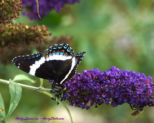 White Admiral on buddleja with honeybee | by Harry Lipson