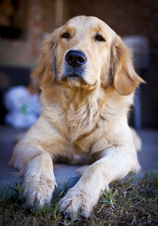 golden dog | by barnigomez