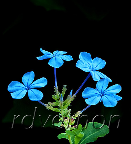 Blue Flowers | by teladair