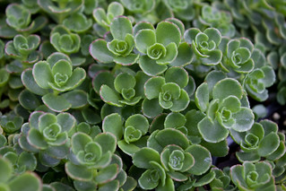 Sedum spurium 'John Creech' | by Melissa-Gale