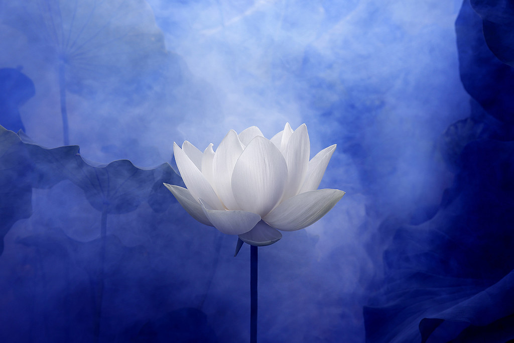 white lotus flower surreal series macro ddab…  flickr, Natural flower