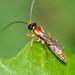 Vespa // Ichneumon Wasp (Diadromus collaris), male