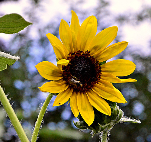 Bee on a sunflower | by ☼☼Happy That Summer Is here!☼☼