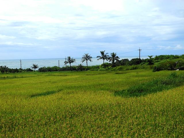 石梯坪種出的水梯田,一到夏天金黃色的稻穗與拍打著岸邊的海浪相互輝映,形成獨特的景觀。攝影:廖靜蕙