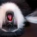 Colobus monkey upside down