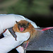 A BLM biologist checks the wing condition of a bat.