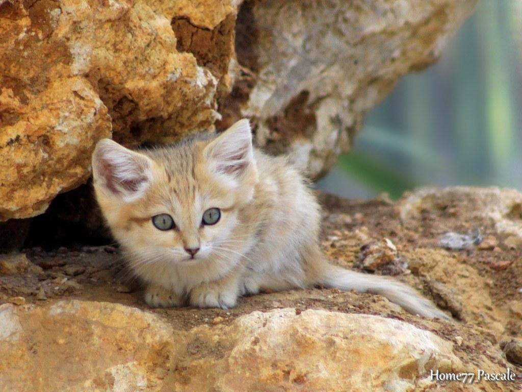 B b chat des sables 2 mois parc des f lins 77 - Chat des sables a vendre ...