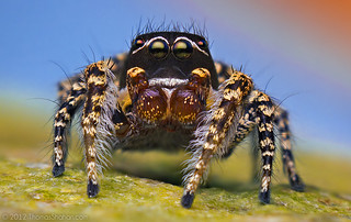 Adult Male Habronattus pugillis Jumping Spider - Arizona (Santa Rita Mountains Variation) | by Thomas Shahan