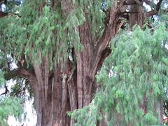 툴레 나무