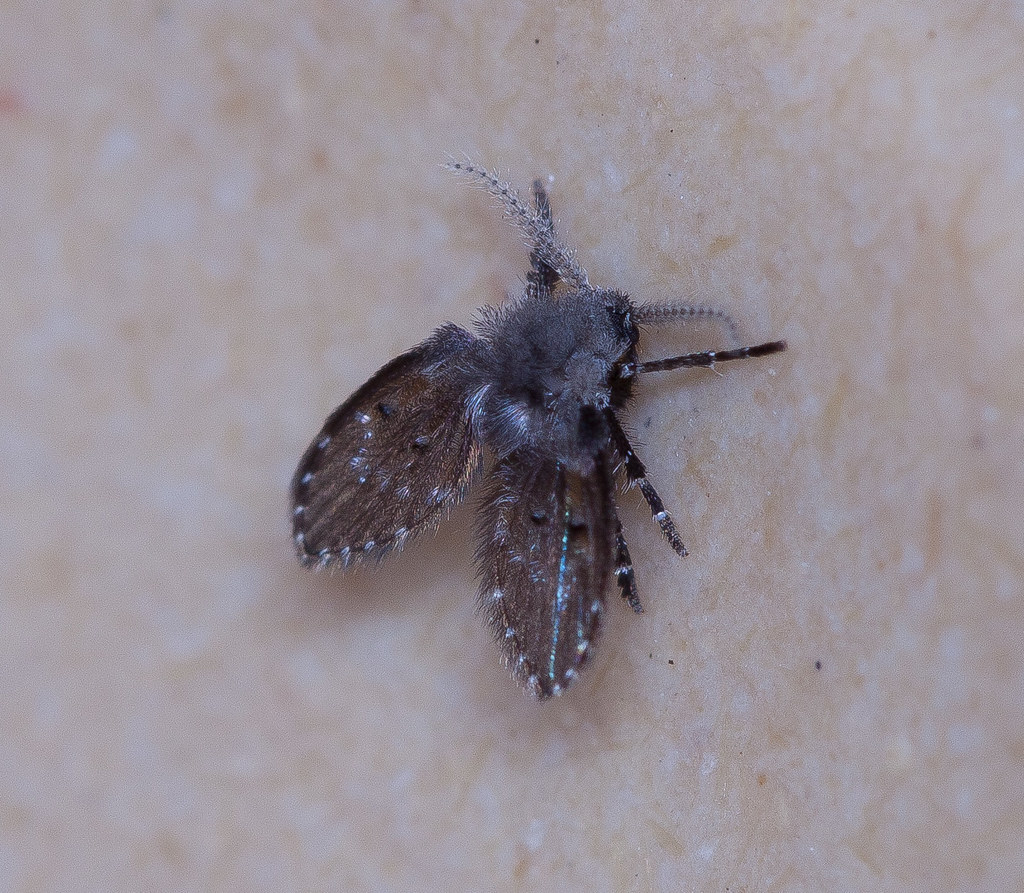 drain fly they look like moths and their larvae feed on th flickr. Black Bedroom Furniture Sets. Home Design Ideas