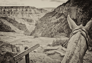 North Rim Mule Ride | by Dwood Photography