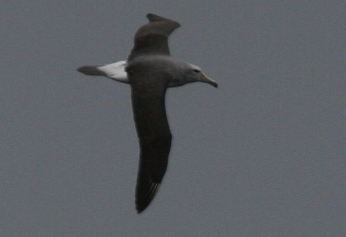 Shy Albatross Pelagic birding with Nature Expeditions in Peru | by stefanaustermuhle