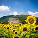 himawari '12 - sunflower #6 (Sayou-tyou, Hyogo)