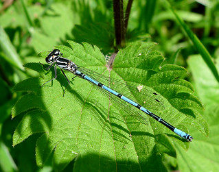 Azure Bluet. Coenagrion puella. Azure Damselfly | by gailhampshire