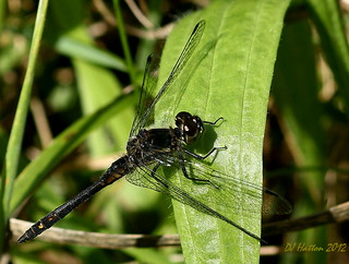 Black Darter @ Abney . Explored 23.8.12 | by claylaner