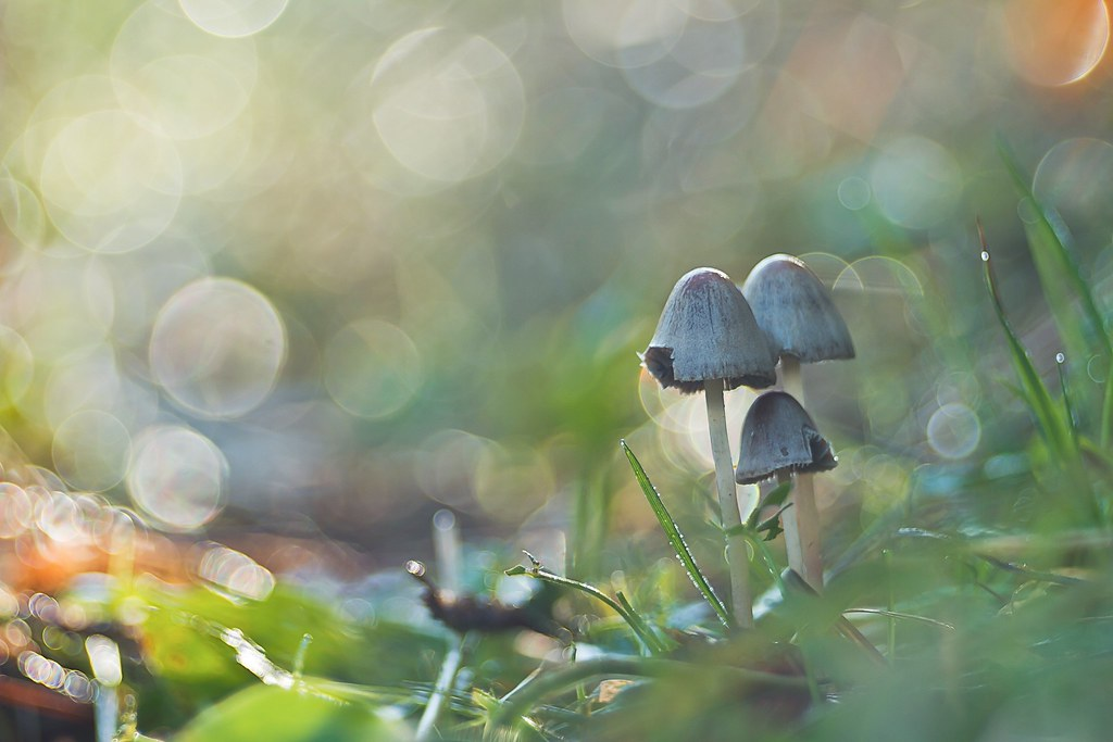 IMG_4842.jpg---trioplan-100mm-à-f-3,2---champignon-- web