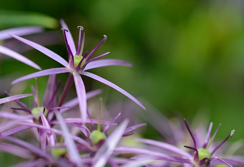 00922 - Allium | by r-and-b