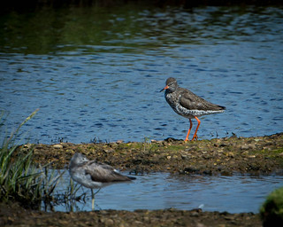 Redshank | by jasonbkk