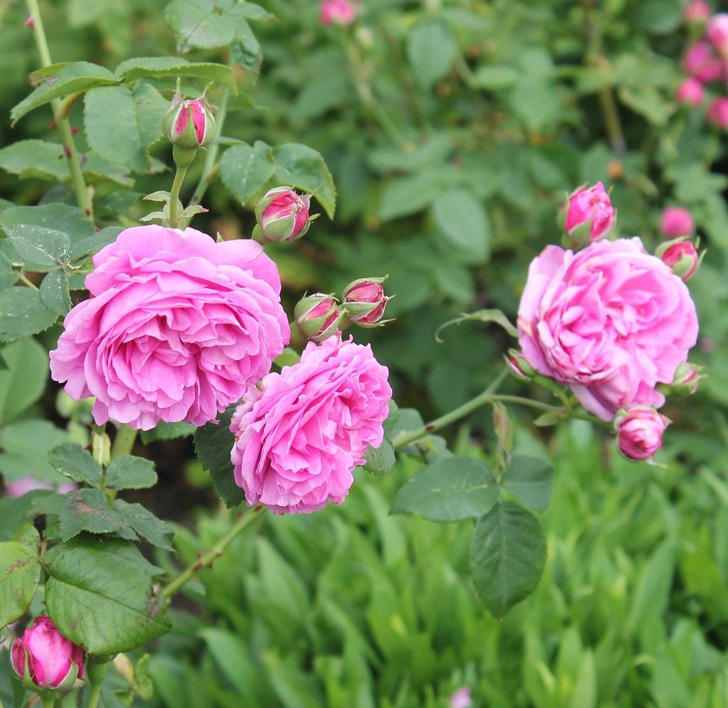 mottisfont abbey bourbon rose louise odier rachel joyce flickr. Black Bedroom Furniture Sets. Home Design Ideas