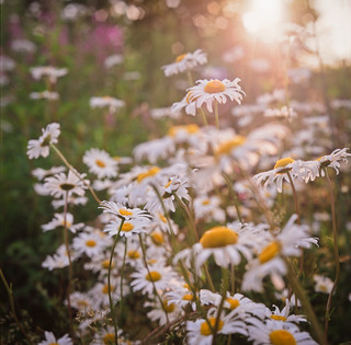 passing white daisies | by after october