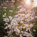 passing white daisies