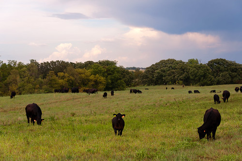Cattle in Pasture | by cwwycoff1
