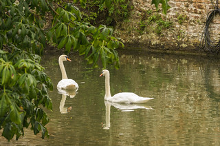 Swans in the Moat | by Simon Hawketts