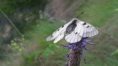 farfalla Parnassius mnemosyne