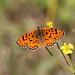 Spotted fritillary / tweekleurige parelmoervlinder (Melitaea didyma)