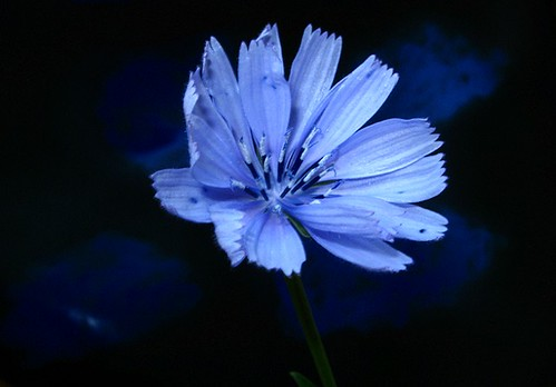 FIORE DI CICORIA (CHICORY FLOWER)  ! Buon weekend !) | by mario dsn 45