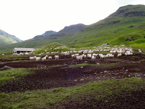 An awful lot of sheep! The baaing was crazy | by dmason84