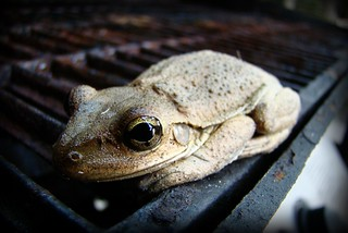 BBQ Frog | by Burnt Umber