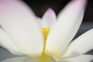 20120715 Lotus 3 | by BONGURI