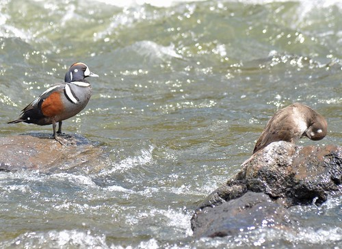 Male and Female Harlequin Ducks | by Austin H.