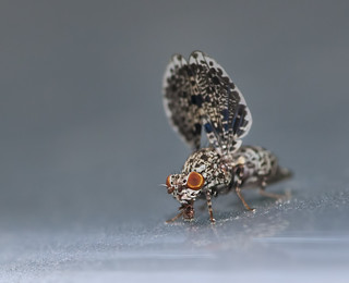 Peacock Fly | by J Gilbert