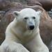 Polar bear / Isbjørn