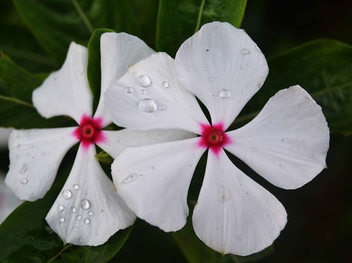 Catharanthus | by Bhudiarto