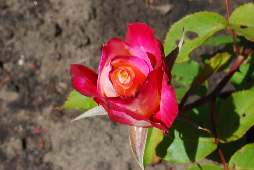 mini-rose PH 6-6-12 4 | by THE Holy Hand Grenade!