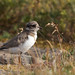 Sand Plover young