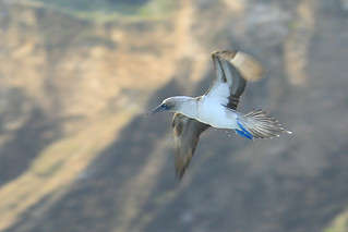 Blue-Footed Booby Fly-By | by TrekLightly